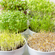 Microgreens in white bowls, vertical, closeup - PhotoDune Item for Sale