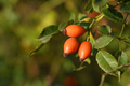 Rose hips on bush close-up - PhotoDune Item for Sale