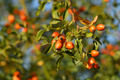 Branches of rosehip in autumn - PhotoDune Item for Sale