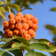 Bunch of rowan on tree - PhotoDune Item for Sale