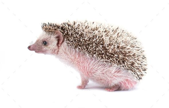 hedgehog isolated on white background - Stock Photo - Images