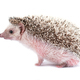 hedgehog isolated on white background - PhotoDune Item for Sale