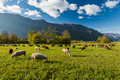 Sheep grazing on green pasture in mountains - PhotoDune Item for Sale