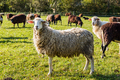 White sheep looking at camera while flock grazing - PhotoDune Item for Sale