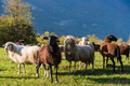 Sheeps pasture on green grass - PhotoDune Item for Sale