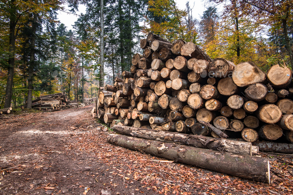 Timber harvesting. A lot of logs lying on the ground in forest - Stock Photo - Images