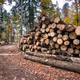 Timber harvesting. A lot of logs lying on the ground in forest - PhotoDune Item for Sale