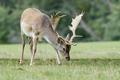 Fallow deer (Dama dama) - PhotoDune Item for Sale