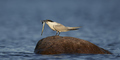 Sandwich tern (Thalasseus sandvicensis) - PhotoDune Item for Sale