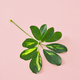 Free Download leaf on pink background Nulled