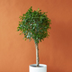 Free Download Ficus tree on a brown background Nulled