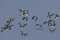 Barnacle goose (Branta leucopsis) - PhotoDune Item for Sale