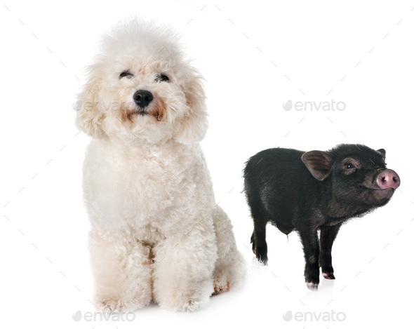 vietnamese pig and bichon - Stock Photo - Images