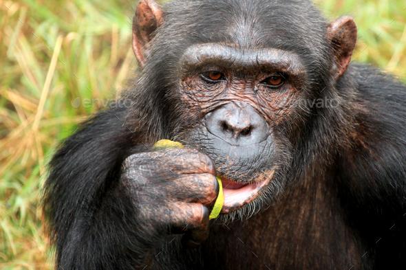Chimpanzee - Uganda - Stock Photo - Images