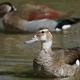 Ringed teal (Callonetta leucophrys) - PhotoDune Item for Sale