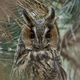 Long-eared owl (Asio otus) - PhotoDune Item for Sale