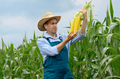 Middle age Farmer hold fresh organic corn cobs in his hands. Har - PhotoDune Item for Sale