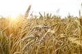 Wheat field under cloudy blue sky in Ukraine - PhotoDune Item for Sale