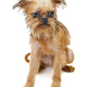 Brussels Griffon puppy - PhotoDune Item for Sale