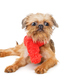 Brussels Griffon puppy in red scarf - PhotoDune Item for Sale
