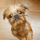 Brussels Griffon puppy with big eyes - PhotoDune Item for Sale