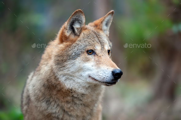 Portrait wolf in autumn forest - Stock Photo - Images