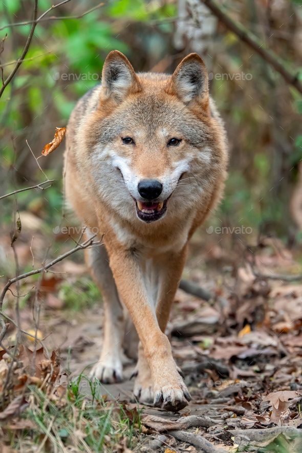 Wolf in autumn forest - Stock Photo - Images