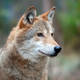 Portrait wolf in autumn forest - PhotoDune Item for Sale