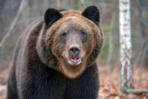 Portrait bear in autumn forest - Stock Photo - Images