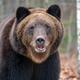 Portrait bear in autumn forest - PhotoDune Item for Sale