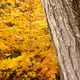 Free Download Marbled Bark Thick Tree Fall Color Seasonal Leaves Forest Nulled