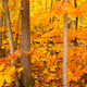 Free Download Dark Bark Thick Tree Trunk Fall Color Seasonal Leaves Forest Nulled