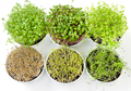 Six microgreens and sprouts in white bowls from above - PhotoDune Item for Sale