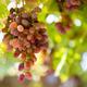 Free Download ripe red grapes closeup on xinjiang vineyard Nulled