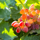 Free Download ripe red grapes with sunshine, autumn harvest vineyard closeup Nulled