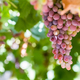 Free Download ripe red grapes closeup, autumn harvest vineyard Nulled