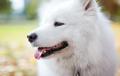 Closeup of samoyed dog in autumn park - PhotoDune Item for Sale