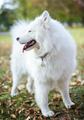 Samoyed dog in autumn park - PhotoDune Item for Sale