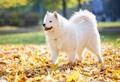 Happy samoyed dog in autumn park - PhotoDune Item for Sale