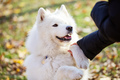 Happy samoyed dog giving paw to owner outdoors - PhotoDune Item for Sale