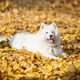 Samoyed dog in autumn park - PhotoDune Item for Sale