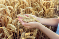 Child holding crop in wheat field - PhotoDune Item for Sale