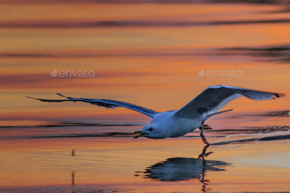 seagull in flight - Stock Photo - Images