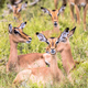 Impala group resting - PhotoDune Item for Sale