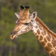 Giraffe standing in soft afternoon light - PhotoDune Item for Sale