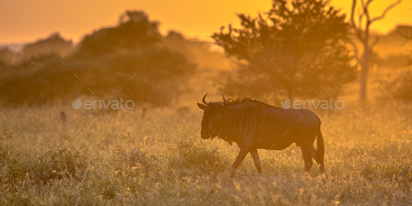 Savanna Orange light with wildebeest on S100 Kruger - Stock Photo - Images