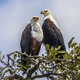 African fish eagle couple - PhotoDune Item for Sale