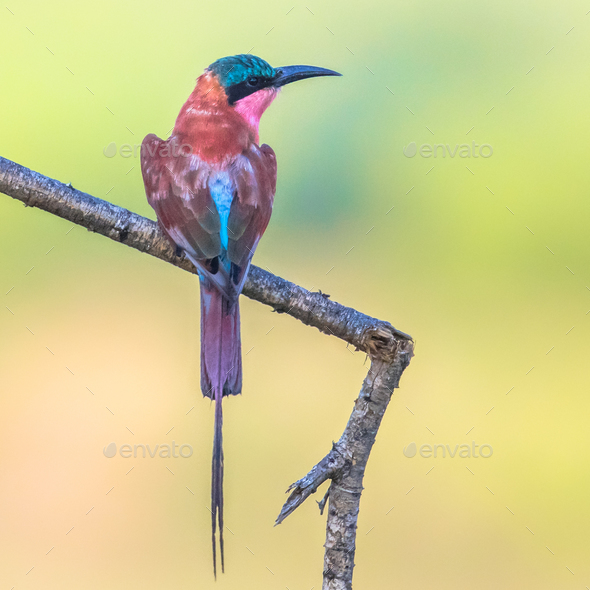 Southern carmine bee eater insta - Stock Photo - Images