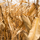 Corn on the Cob past Ripe and Needing Harvest Farm Produce - PhotoDune Item for Sale