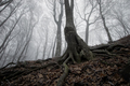 Tree with giant roots in spooky forest - PhotoDune Item for Sale